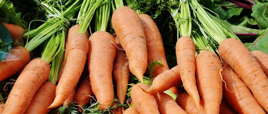 Frische Karotten aus der Gärtnerei