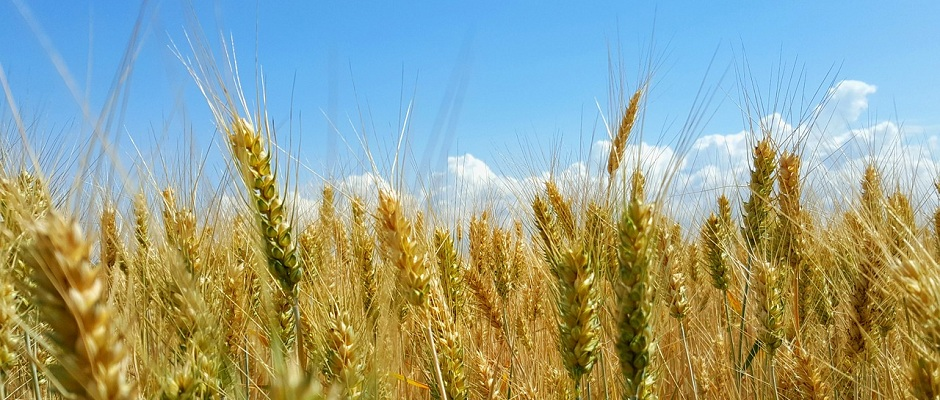 Getreide Weizen