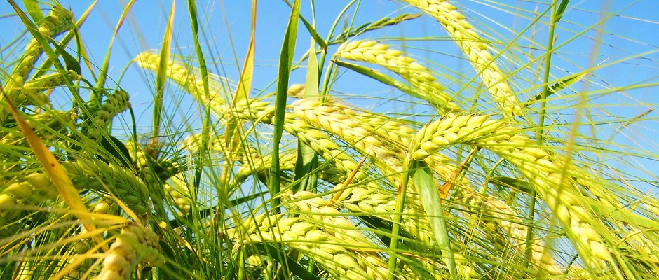 yellow green barley