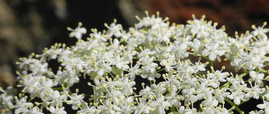 weiße Hollunderblüten
